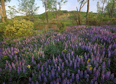 Lupine Indiana Dunes National Lakeshore Poster by Tim Fitzharris