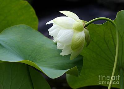 Luscious Lotus Poster by Sabrina L Ryan