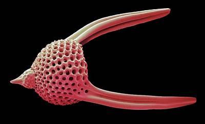 Lychnocanoma Radiolarian Poster by Steve Gschmeissner