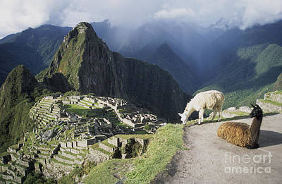 Machu Picchu And Llamas Poster by James Brunker