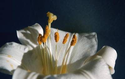 Madonna Lily Poster by Retro Images Archive
