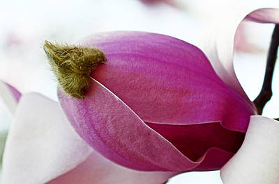 Magnolia Blossom With Cap Poster by Lisa Phillips