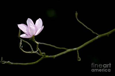Magnolia Campbellii Darjeeling Flower Poster by Tim Gainey