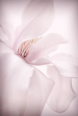 Magnolia Flower Blossom Soft Pink Poster by Jennie Marie Schell