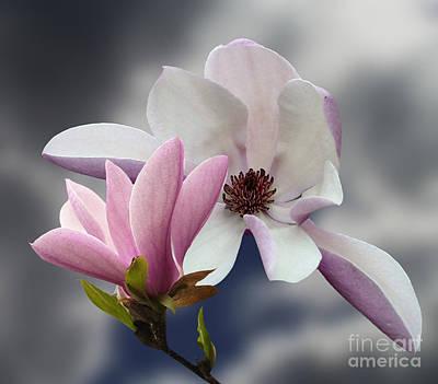 Magnolia Flowers Poster by Andrew Govan Dantzler