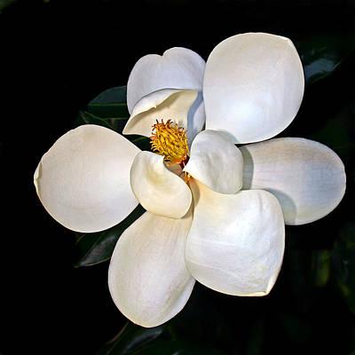 Magnolia Poster by Marcia Colelli
