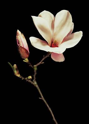 Magnolia X Soulangeana Flowers Poster by Gilles Mermet