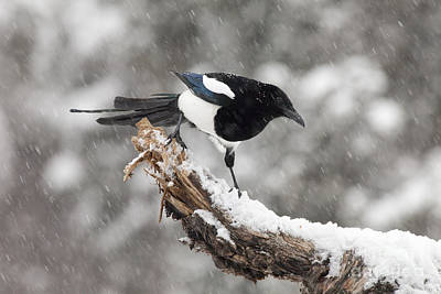 Magpie Out On A Branch Poster by Tim Grams