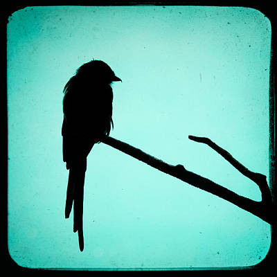 Magpie Shrike Silhouette Poster by Gary Heller