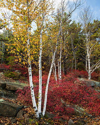 Maine's Acadia National Park White Birch Tree Photo Poster by Bill Swindaman