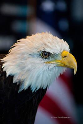 Majestic Bald Eagle Poster by Wayne Moran