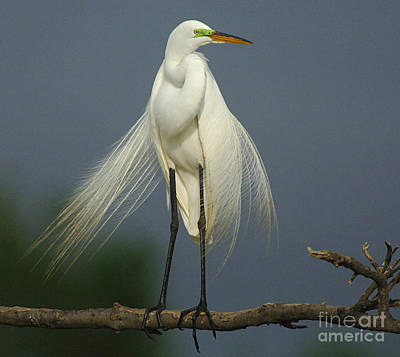 Majestic Great Egret Poster by Bob Christopher