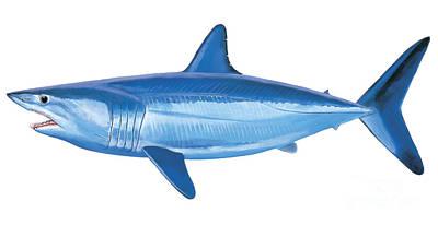 Mako Shark Poster by Carey Chen