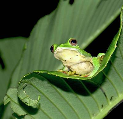 Malabar Gliding Frog Poster by K Jayaram