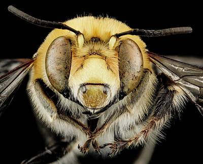 Male Bee Poster by Us Geological Survey