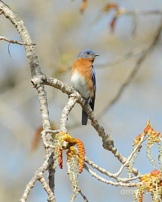 Male Bluebird In Budding Tree Poster by Robert Frederick