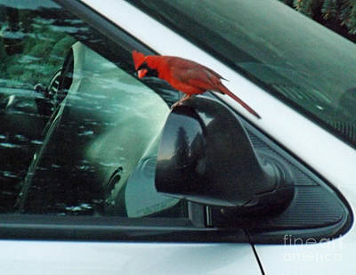 Male Cardinal Admiring His Reflection Poster by Brenda Brown