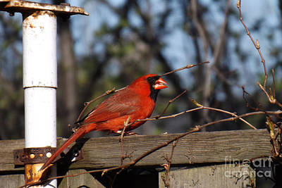 Male Cardinal On Fence Poster by Brenda Brown