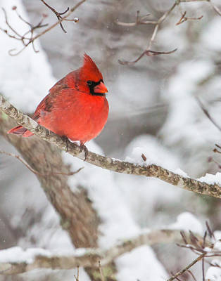 Male Cardinal On Snowy Branch Poster by Rob Travis