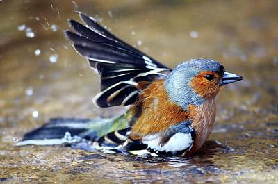 Male Chaffinch Bathing Poster by Colin Varndell