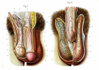 Male Genitals Poster by Collection Abecasis