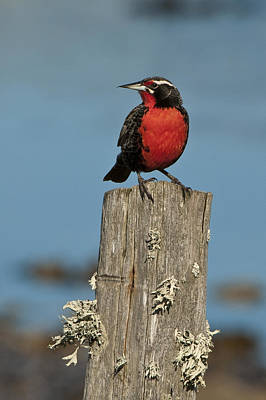 Male Long-tailed Meadowlark On Fencepost Poster by John Shaw