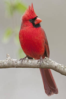 Male Northern Cardinal In January Poster by Bonnie Barry