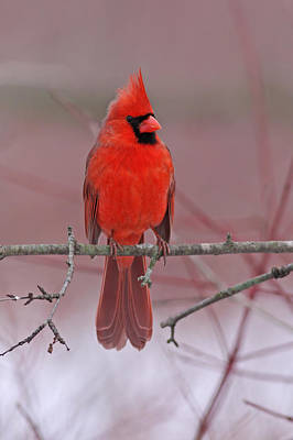 Male Northern Cardinal Poster by Jim Nelson