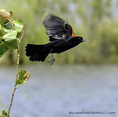 Male Red-winged Blackbird Poster by LeeAnn McLaneGoetz McLaneGoetzStudioLLCcom