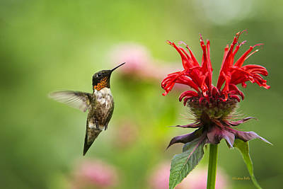 Male Ruby-throated Hummingbird Hovering Near Flowers Poster by Christina Rollo