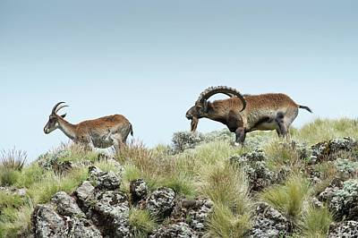 Male Wahlia Ibex Checking A Females Odour Poster by Tony Camacho