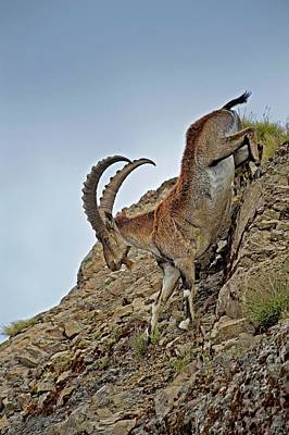 Male Wahlia Ibex Mountain Descent Poster by Tony Camacho