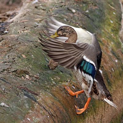 Mallard Duck Climb Poster by Jim Nelson
