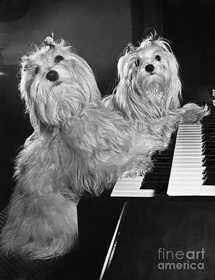 Maltese Pups Poster by M. E. Browning
