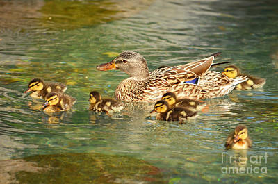 Mama Duck And Her Babies Poster by Eva Kaufman