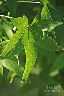 Maple Leaves Poster by Dan Radi