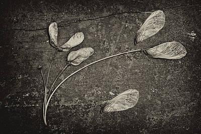 Maple Tree Whirlybirds Poster by Tom Mc Nemar