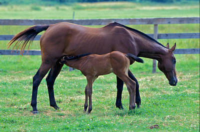 Mare And Foal Poster by Gail Maloney