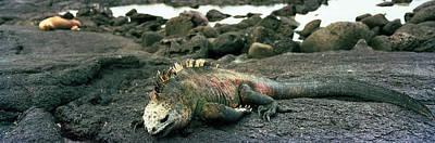 Marine Iguana Galapagos Islands Poster by Panoramic Images