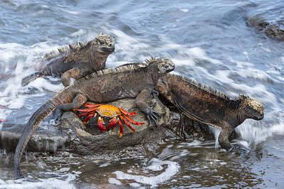Marine Iguana Trio And Sally Lightfoot Poster by Tui De Roy