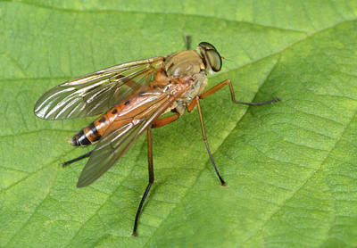 Marsh Snipe-fly Poster by Nigel Downer