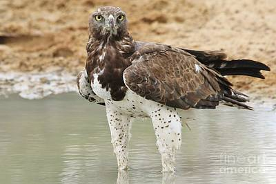 Martial Eagle - Eyes Of Focus Poster by Hermanus A Alberts