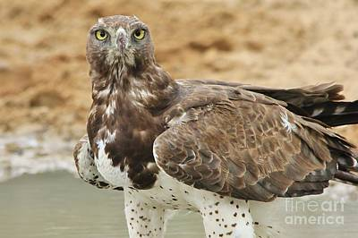 Martial Eagle - Yellow Focus Poster by Hermanus A Alberts