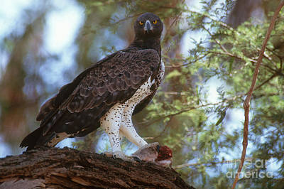Martial Eagle Poster by Art Wolfe