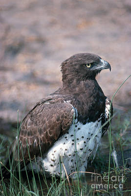 Martial Eagle Poster by Gregory G. Dimijian, M.D.