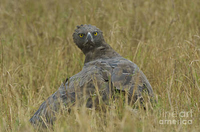 Martial Eagle Mantling Prey Poster by John Shaw