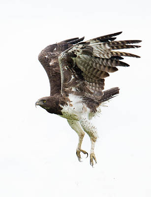 Martial Eagle Polemaetus Bellicosus Poster by Panoramic Images