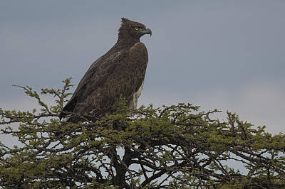Martial Eagle Poster by Wade Aiken