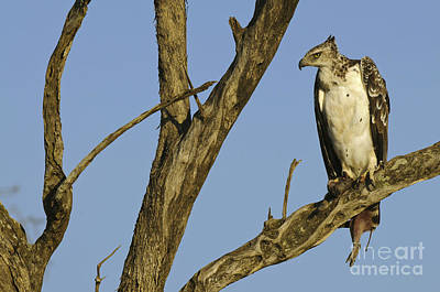 Martial Eagle With Its Prey Poster by John Shaw