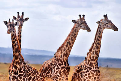 Masai Giraffe Poster by Adam Romanowicz